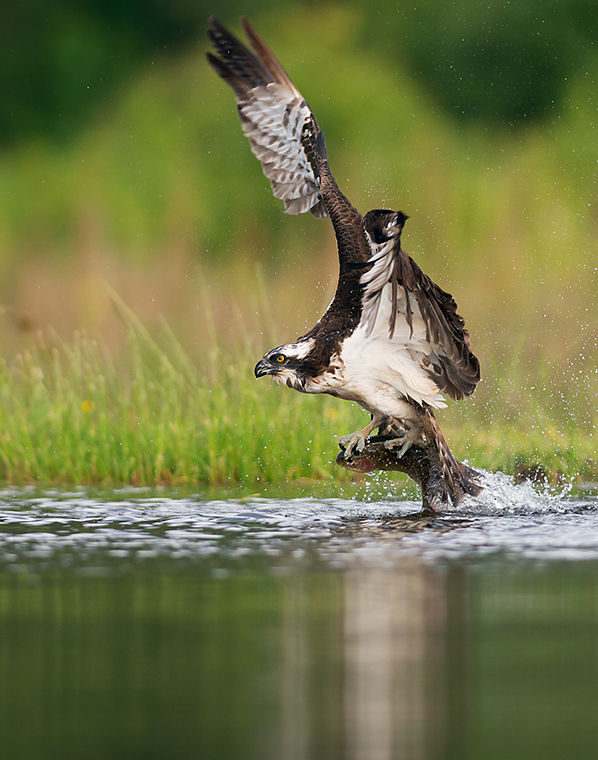 Osprey with Trout