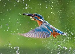 Male Kingfisher in flight
