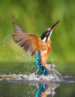 Diving Female Kingfisher