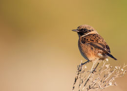 Male Stonechat in Autumn plumage