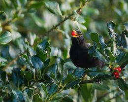Blackbird eating Holly berry