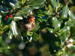 Redwing eating Holly berry