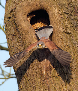 Male kestrel taking off from nest