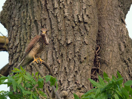 Female Kestrel with shrew