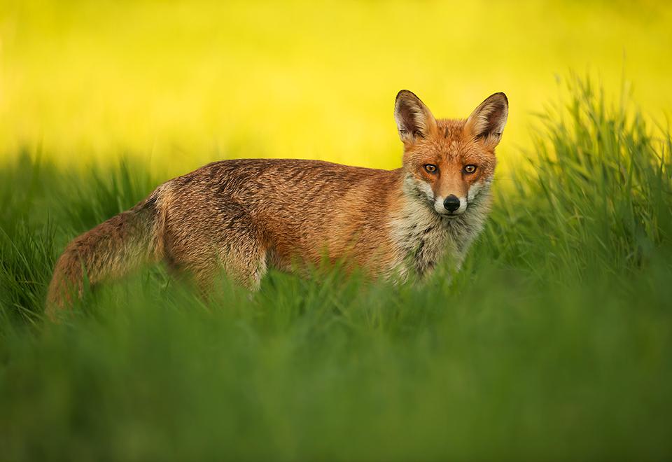 Dog fox shadow & light