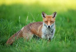 Red dog Fox