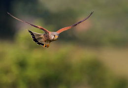 Male Kestrel in flight