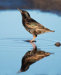 Starling reflection
