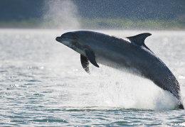 Bottlenose dolphin breaching