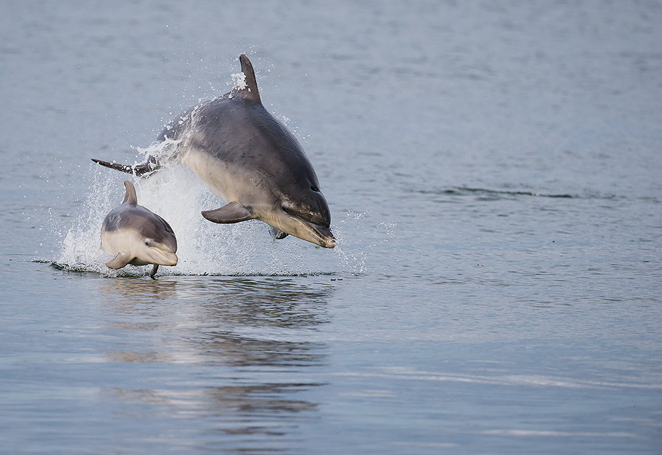 Bottlenose dolphin mother and calf