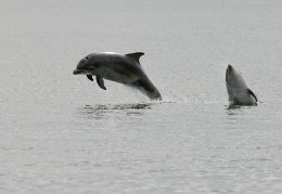 Dolphin calfs playing