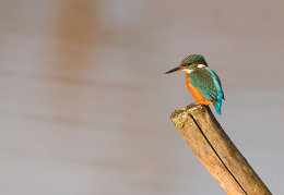 Perched female Kingfisher