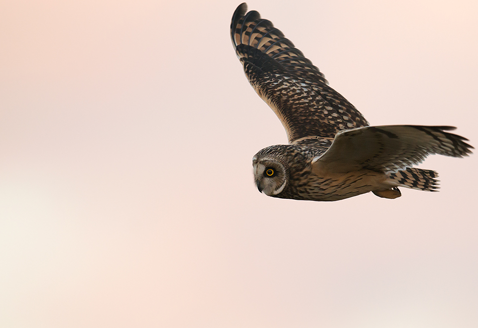 Short eared owl at dusk
