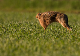 Brown Hare stretching