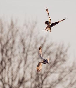 Feuding Short Eared Owls