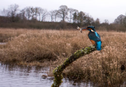 Female Kingfisher with catch
