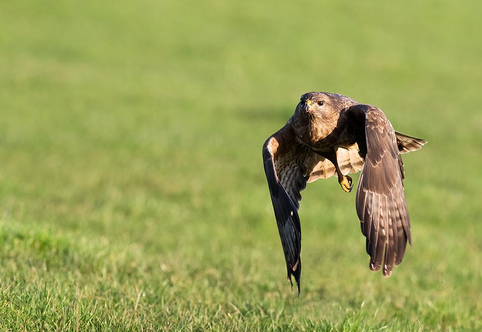 Male Buzzard in flight