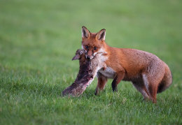 Red Fox with rabbit