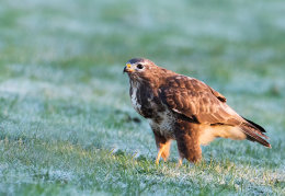 Buzzard on a frosty morning