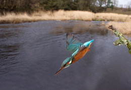 Diving Kingfisher