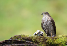 Female Sparrowhawk with prey