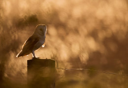 Backlit Barn Owl