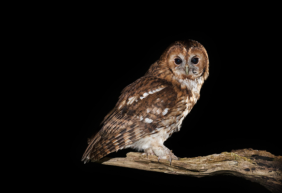Tawny Owl with just eaten mouse