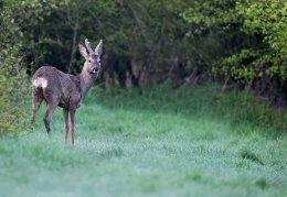 Roe Deer in woodland glade