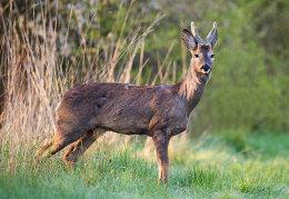 Roe Deer buck in early morning sunlight