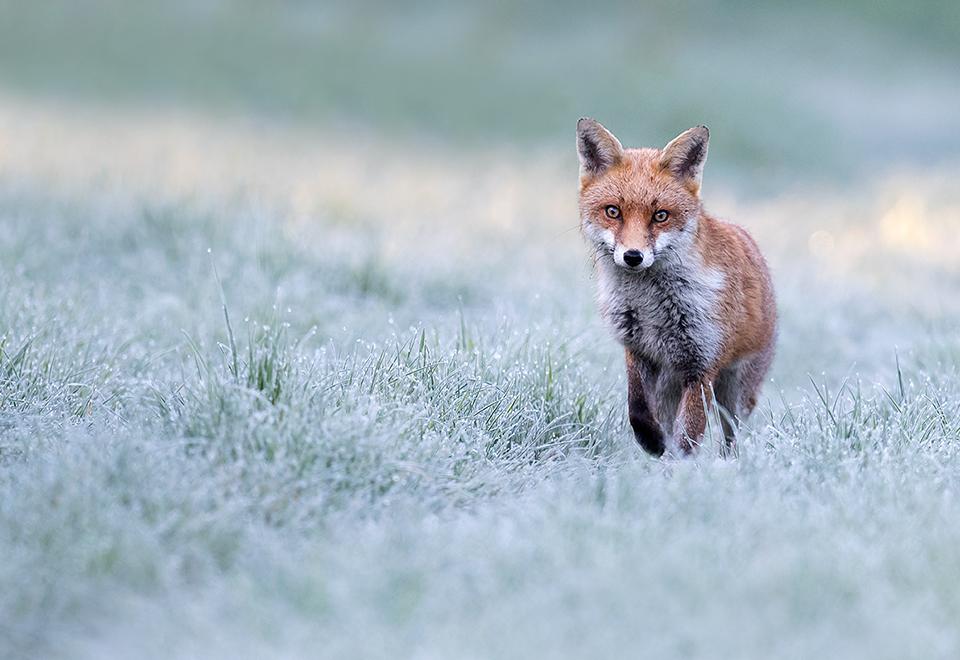 Red fox frosty morning