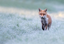 Red fox frosty morning