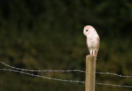 Perched Barn Owl