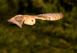 Sunset Barn Owl