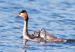 Great Crested Grebe & chicks