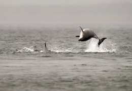 Dolphins in the mist