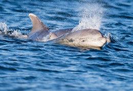 Dolphin calf & Mum