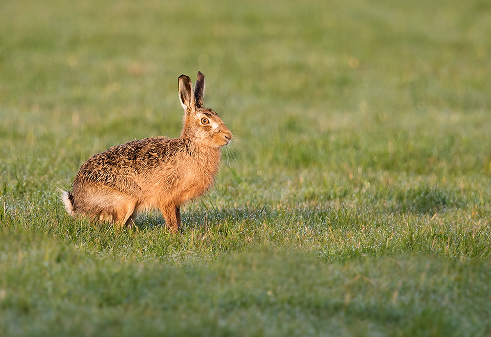 Brown Hare in morning light