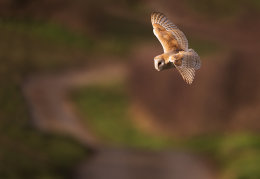 Barn owl over country lane