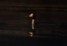 Great Crested grebe at first light