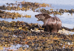 Otter with a crab
