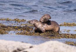 Female Otter & cub