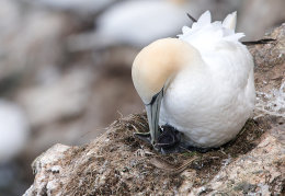 Gannet feeding chick