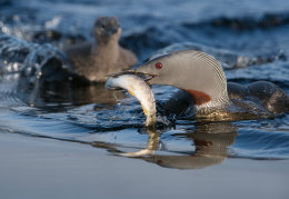 Red Throated Diver & chick