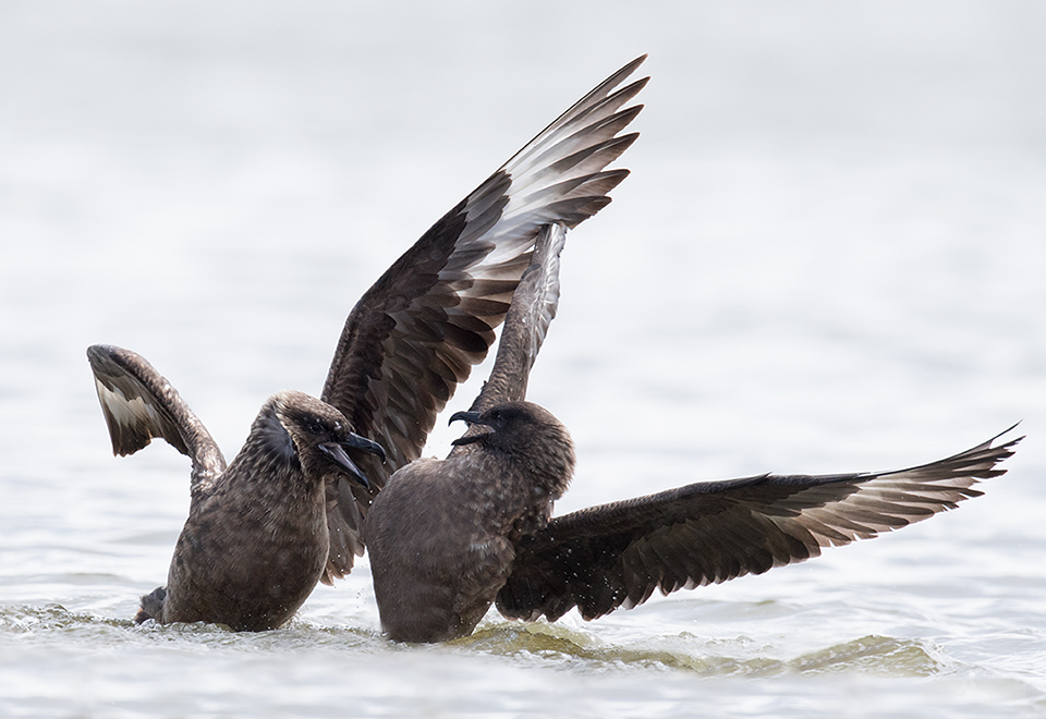 Great Skua's quarelling