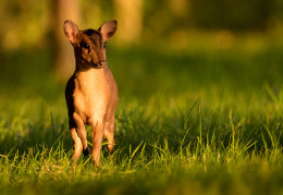 Young Muntjac