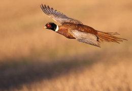 Male Pheasant