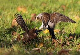 Fieldfare & Blackbird