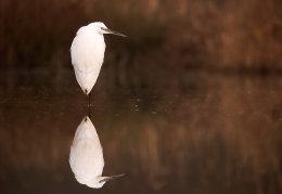 Little Egret reflection