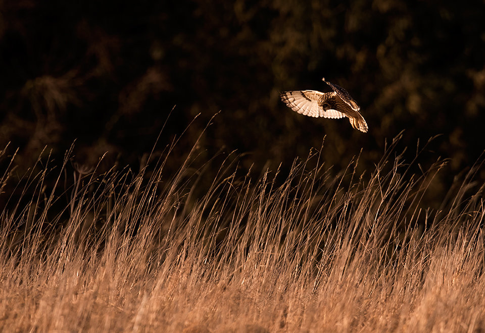 Short Eared Owl at sunset