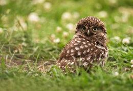 Little Owl dust bathing